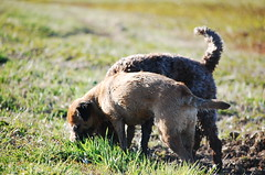 DSC_0188 (juliapee) Tags: dogs spring borderterrier dogsplaying lagotto romangolo