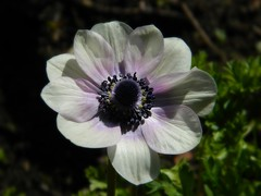 Greet this new day with open arms and endless possibility (careth@2012) Tags: anemone