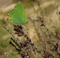 Green Hairstreak on Golden Heathland (Andy & Helen :-) :)) Tags: wild macro green nature butterfly golden natural native heather wildlife staffordshire hairstreak heathland cannockchase greenhairstreak callophrysrubi nikonp300 butterfliesandmothsorderlepidoptera