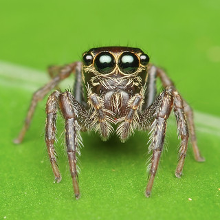 [SMGP1801-pp] Jumping spider