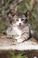 (Irantzu Arbaizagoitia) Tags: portrait pet white cute eye beautiful face look animal cat fur mammal paw kitten feline looking tabby gray domestic resting lovely relaxation lying striped