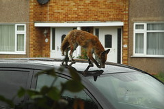 Foxes do the funniest things... (blacksplat) Tags: red car animal slide fox mamal