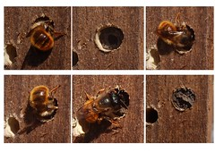 Red mason bee (crs17) Tags: red nest mason bee solitary behaviour