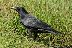 Carrion Crow. (stonefaction) Tags: park nature birds scotland riverside dundee wildlife faved