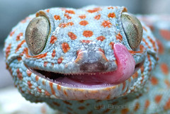 Awww... a fascinating creature with face that only a mother could love*^_^* ~ gekko gecko ~ tokay gecko from Bali (bocavermelha-l.b.) Tags: tongue lagartixa tuko tokaygecko gekkogecko 105mmf28dmicro tokek ヤモリ 2xtelepluspro300 mi–im shootingwithd200 геккон ตุ๊กแก awke tắckè tokkae kokkek