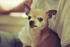 grumpy (pink_mang0) Tags: dog chihuahua cute funny hate angry mad grumpy pissed vicious