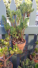 (StephenMitchell) Tags: plants green belair samsung galaxy botanic growing note2 flickrandroidapp:filter=none sheoakcafe