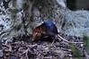 steppeslurfhondje - Rhynchocyon petersi - Black and rufous elephant shrew (MrTDiddy) Tags: elephant black mammal zoo antwerpen shrew zooantwerpen rufous zoogdier petersi sengi rhynchocyon steppeslurfhondje