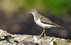 Common Sandpiper (ron.hindhaugh) Tags: skye bird nature scotland nikon wildlife sandpiper 500mm d800 commonsandpiper thewonderfulworldofbirds