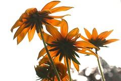 yellow : july : yellow (knitalatte11) Tags: summer orange brown ontario yellow garden july rudbeckia browneyedsusan
