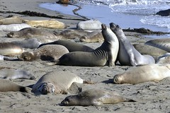 Piedras Blancas Beach, California (Joao Eduardo Figueiredo) Tags: ocean california sea elephant beach water big sand nikon pacific seals sur sansimeon mammals elephantseals piedrasblancas joaofigueiredo nikond3x joaoeduardofigueiredo