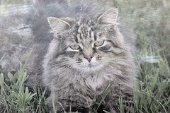 Momma Cat Resting In Grass Erased Blackboard Textured 001 (Chrisser) Tags: cats ontario canada nature animal animals cat mainecooncat ourcatcompanions crazyaboutcats kissablekat kissablekats bestofcats kissablekitties kissablekitty canoneosrebelt1i canonef75300mmf456iiiusmlens picmonkey
