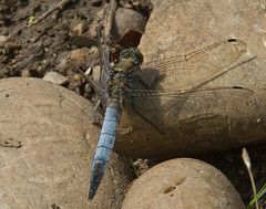 Male Black Tailed-Skimmer. (Carl Haslam) Tags: elementsorganizer