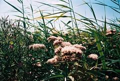 (CroytaqueCie) Tags: summer film nature photography photo xpro foto fotografie photographie minolta bee crossprocessing été fujichrome abeille argentique rvp velvia50 filmphotography fujichromevelvia50 filmisnotdead traitementcroisé minoltadynax4 af2880 believeinfilm flickrandroidapp:filter=none août2013