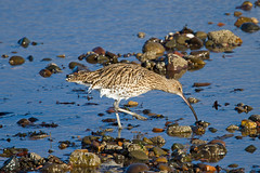 Curlew Feeding (queeny63) Tags: elements