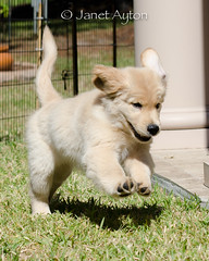 On the move (Janet Ayton) Tags: dog pet male grass goldenretriever puppy outside golden jumping zoom young retriever pale telephoto pup leaping peyto purebred nikkorlens pouncing allrightsreserved nikond7000 nikonafsnikkor70200mmf28gedvrii canamgoldens
