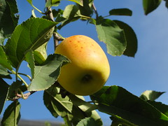 Les pommes de Manosque /// Manosque and its apples (Hlne_D) Tags: france tree apple paca provence arbre appletree pomme pommier alpesdehauteprovence ahp manosque provencealpesctedazur hlned