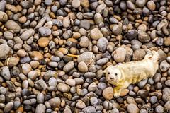 Where's Mum? (Bob0260) Tags: southwales wales pebbles seal pup pembrokeshire babyseal marloes