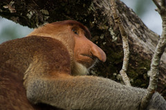 Bako National Park#16 (Florian Lebrun | Photographie) Tags: vert sarawak malaysia borneo monkeys kuching proboscis nasique bakonationalpark
