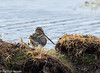 Puna Snipe (hogsas) Tags: peru arequipa puna peruvianimages gallinagoandina peruvianbirds punasnipe
