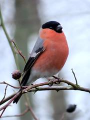 Bullfinch, Kingmoor Nature Reserve, 16 December 13 (gillean55) Tags: camera bridge male bird nature canon north reserve powershot cumbria nr carlisle bullfinch hs superzoom pyrrhula kingmoor sx50