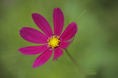 _Q9R9488-1 (Dream Deliver) Tags: red flower cosmos bipinnatus