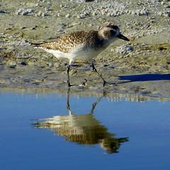 P1110635 (claymore2211) Tags: reflection bird beach water walking square winner sandpiper shorebird friendlychallenges