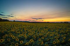 Suns Streak.jpg (Darren Berg) Tags: sunset sunflowers popefarm