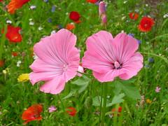 Flower Meadow (Snowlike96) Tags: flower meadow wiese blume {vision}:{flower}=0944 {vision}:{plant}=0972 {vision}:{outdoor}=0903