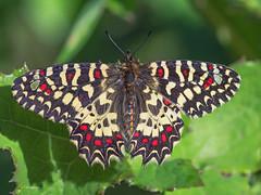 Zerynthia rumina (diegocon1964) Tags: lepidoptera papilionidae papilionoidea zerynthia parnassiinae zerynthiarumina luehdorfiini rumin