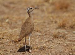 Somali Courser (Rainbirder) Tags: kenya ngc samburu cursoriussomalensis somalicourser rainbirder