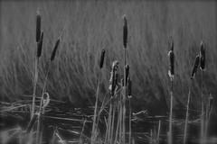 (laufar1) Tags: blackandwhite swamp