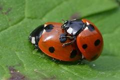 Mating Ladybirds (ron.hindhaugh) Tags: red macro nature leaf nikon wildlife sigma spot seven ladybird d800 150mm