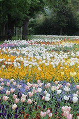 1. Mai /1st of May (AngieAngelAngela) Tags: flowers colors work germany zoo day tulips stuttgart tag meadow wiese blumen der arbeit bunt farben tulpen wilhelma