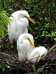 Great Egret Juveniles---Gatorland, Orlando FL (johnandmary.F) Tags: nature birds nesting egrets greategrets nestlings wadingbirds whitebirds gatorlandrookery greategretyoung