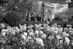 Washington Square Tulips (Joe Josephs: 2,650,890 views - thank you) Tags: newyorkcity flowers spring tulips joe ricohgr springflowers springtime greenwichvillage flowerphotography newyorkcitystreetphotography joejosephs copyrightjoejosephsphotography copyrightjoejosephs2014