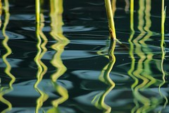 Reed Reflections (Tim Whitcombe) Tags: blue green london reed nature water reflections canal reflect rotherhithe