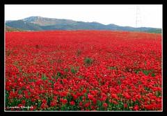 Hasta donde alcanza la vista (Lourdes S.C.) Tags: espaa naturaleza flores flower andaluca spain paisaje andalusia jan amapolas floressilvestres campodeamapolas provinciadejan