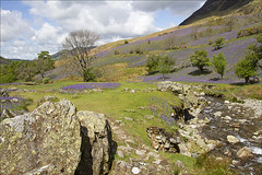 Rannerdale - 12 May 2014 (terryh1609) Tags: uk flowers blue nature bluebells landscape countryside hill lakedistrict hills cumbria fells fell crummock rannerdale allerdale