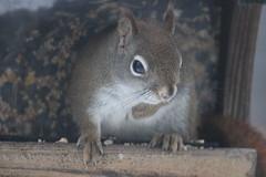 Red Squirrel at Birdfeeders (Saline, Michigan) (cseeman) Tags: squirrel michigan birdfeeder feeder perch hungry saline redsquirrel redsquirrel02092015