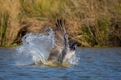 Crash Landing (gseloff) Tags: birds texas feeding pasadena splash brownpelican kayakphotography gseloff horsepenbayou galvestonbayestuary