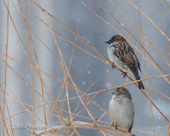 A Bird In The Hand (jah32) Tags: city winter snow toronto ontario canada bird birds universityoftoronto cities streetscene streetscenes uoft