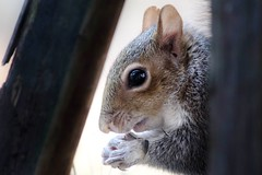 Mr. Squirrel Gives Thanks (Maggggie) Tags: squirrel 52in2015 ladder between sunflower seeds explored