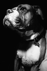 Untitled (Lumi59) Tags: dog pet animal blackwhite flash boxer speedlight magnus externalflash
