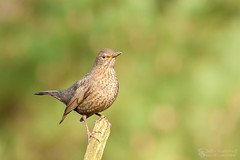 Blackbird (Merel) (Jef-W) Tags: birds canon vogels hbn blackbird januari merel 300mmf28 hanbouwmeester 2015 lemele hut3 lemeleberg 29januari hbnhut 840mmf40
