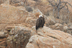 Bald Eagle at Quanah Dam #2 2-20-15 (Larry Smith2010) Tags: oklahoma eagle bald wichitamountains wichitamountainswildliferefuge larrysmith