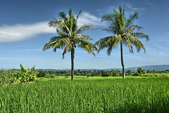 The coconut trees (Tungmay Pimjoy) Tags: trees green landscape thailand nikon rice coconut fields d7200