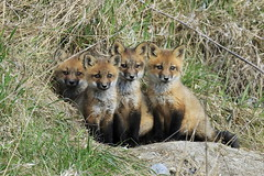 Family of trouble (mike.norkum@gmail.com) Tags: ontario ottawa fox redfox foxden foxkit foxpups