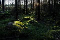 Forrest in the sunset (PeterSundberg66 former PeterSundberg65) Tags: trees green nature forrest sweden watch natur skog sverige trd grn falkping