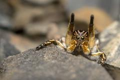 Mating dance (Tom Rop) Tags: macro nature animal canon spider dance jumping bokeh sigma araigne arachnida bague allonge araneae 105mm arachnide salticidae 600d araneomorphae sauteuse em140dg aelurillus vinsignitus